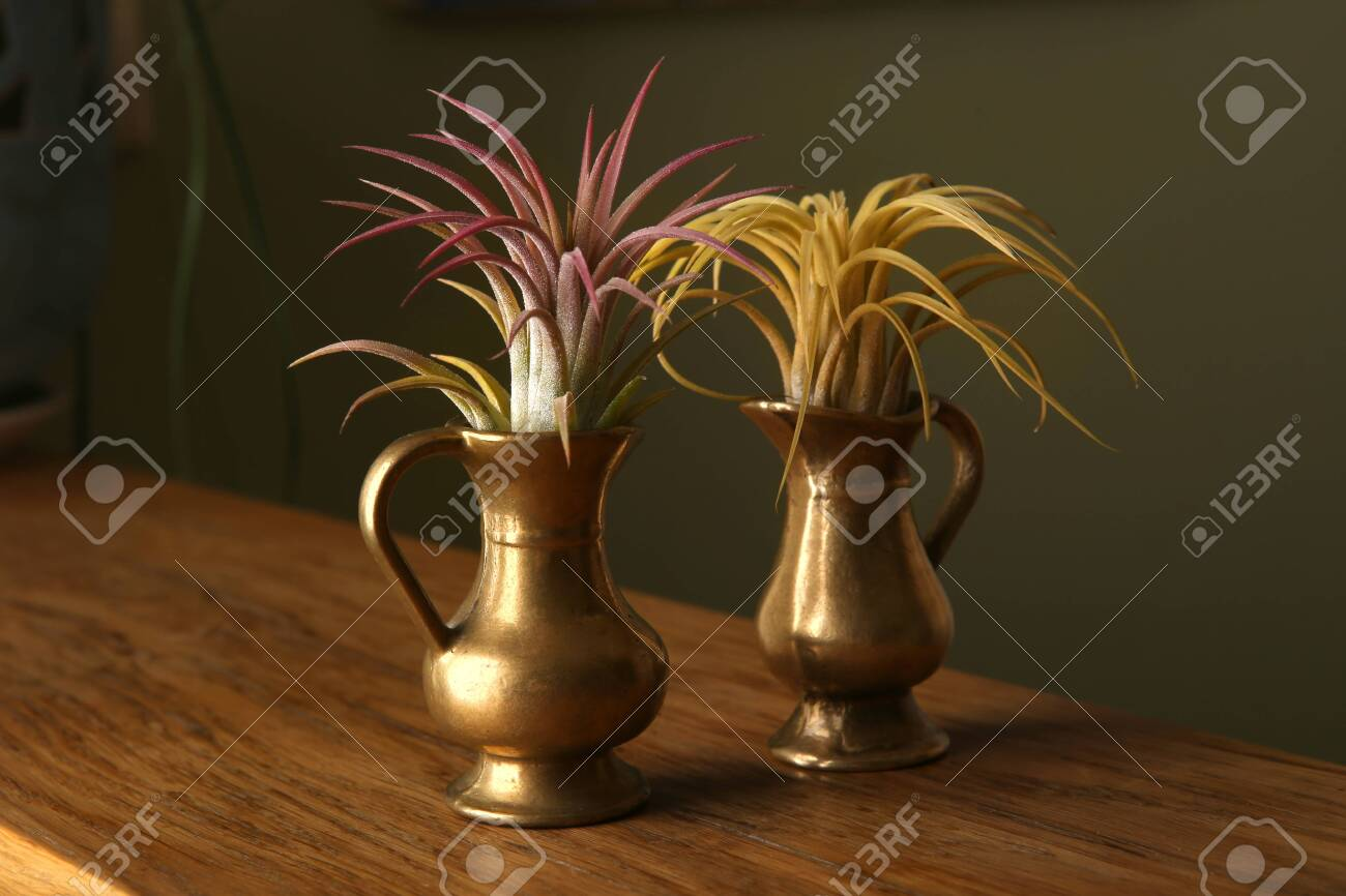 Air Plant Tillandsia Ionantha Houseplant Succulent In Small