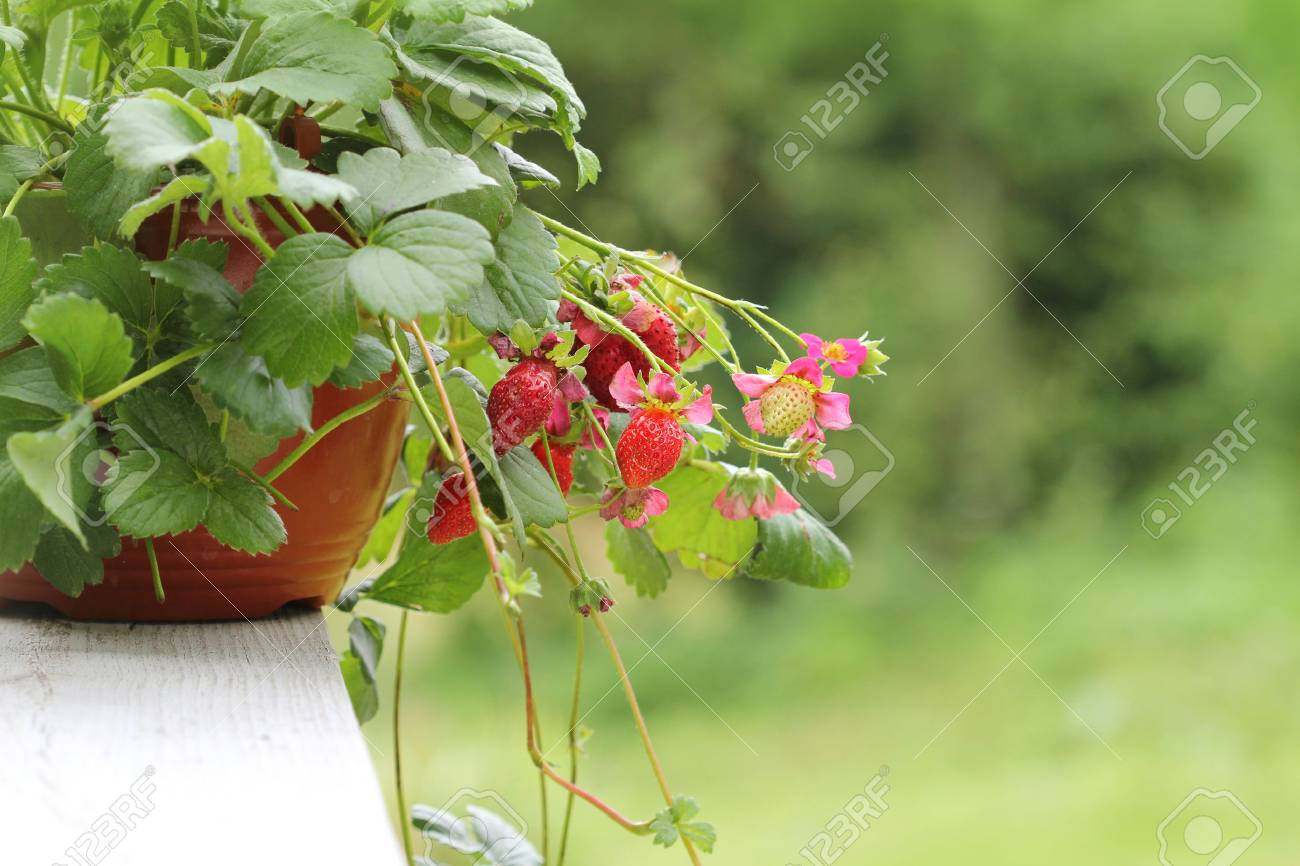 Strawberry plant with pink flowers in pot stock photo picture and stock photo strawberry plant with pink flowers in pot mightylinksfo