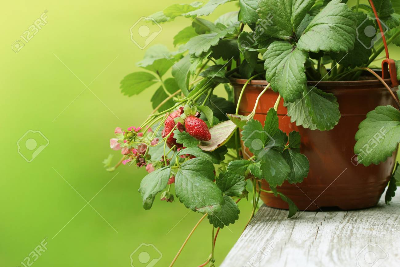 Alpine strawberry plant in pot with pink flower on green background alpine strawberry plant in pot with pink flower on green background stock photo 99131294 mightylinksfo