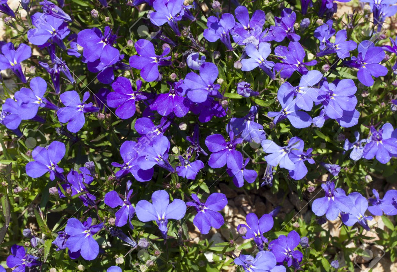 Blue Trailing Lobelia Sapphire Flowers Or Edging Lobelia Garden