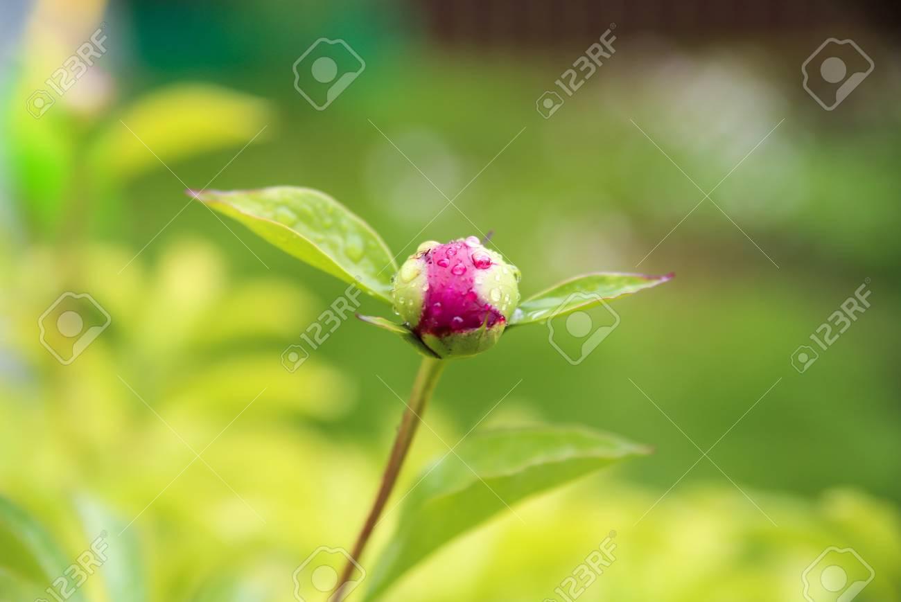 Die Knospen Der Pfingstrose Blumen Saison Der Blute Pfingstrosen