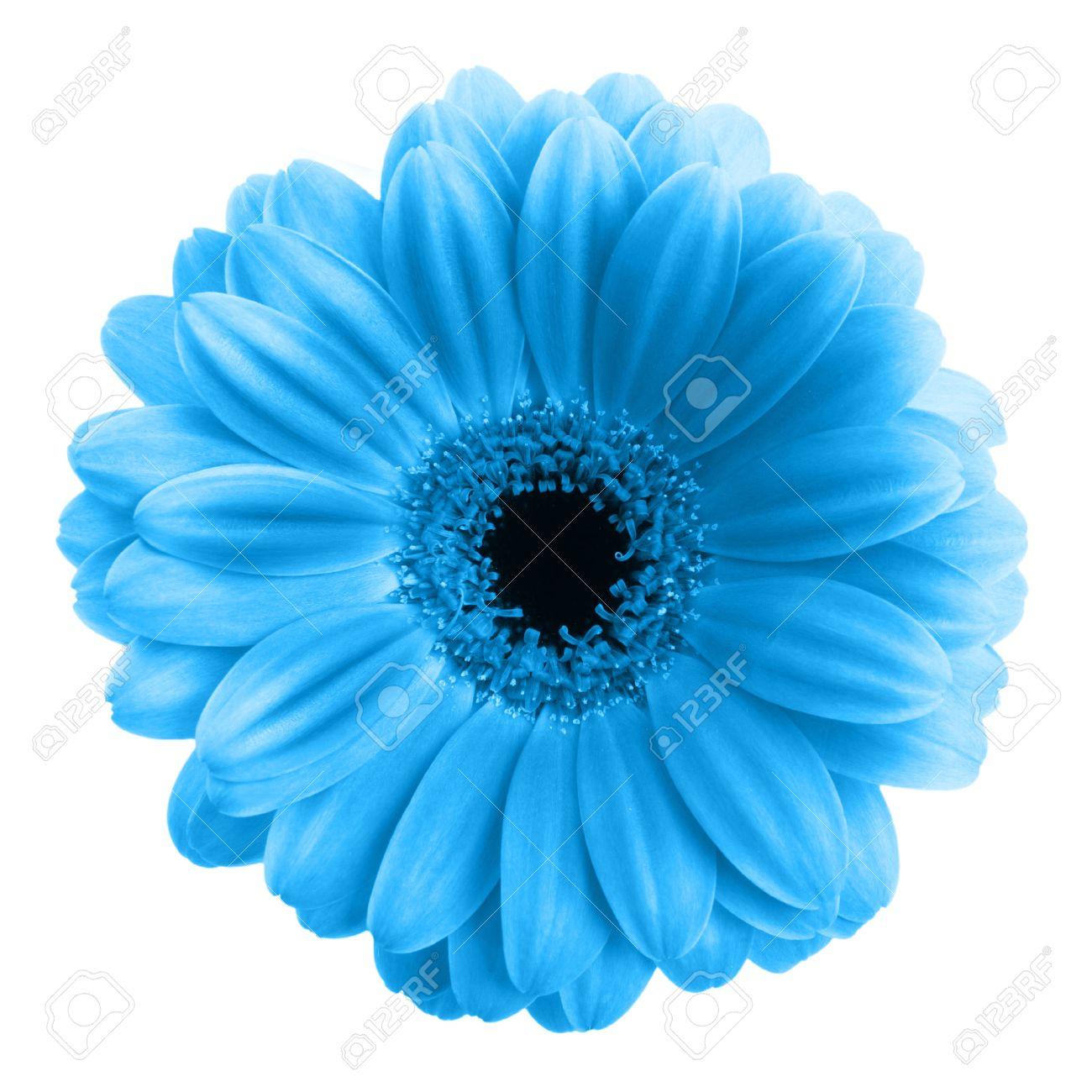 Bleu Gerbera Fleur Isole Sur Fond Blanc Banque D Images Et Photos