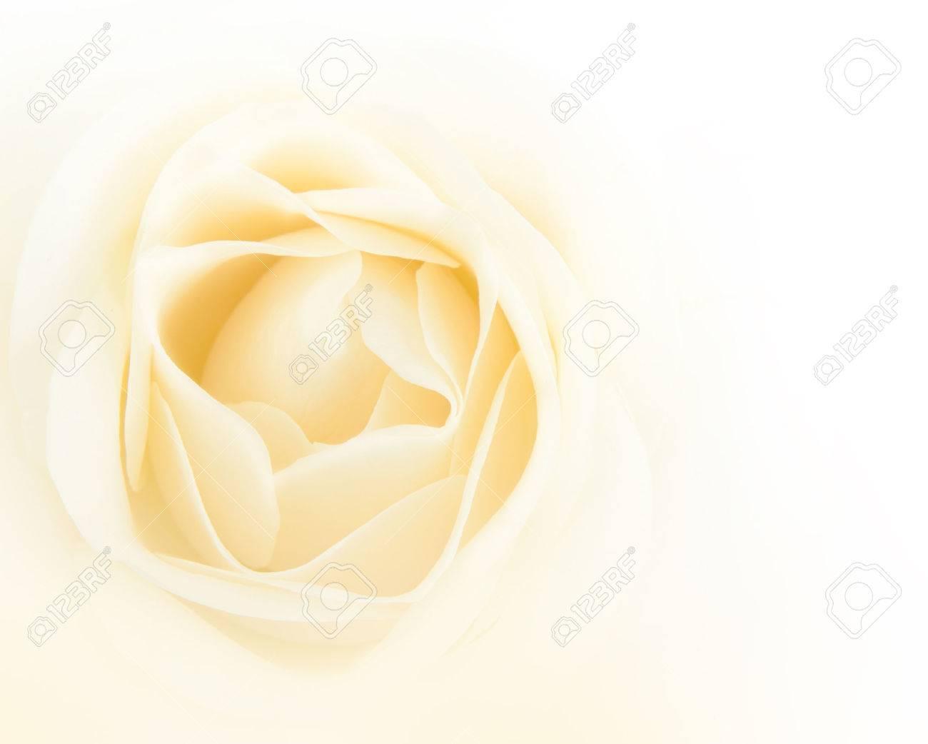 Single white rose flower background - 34240643