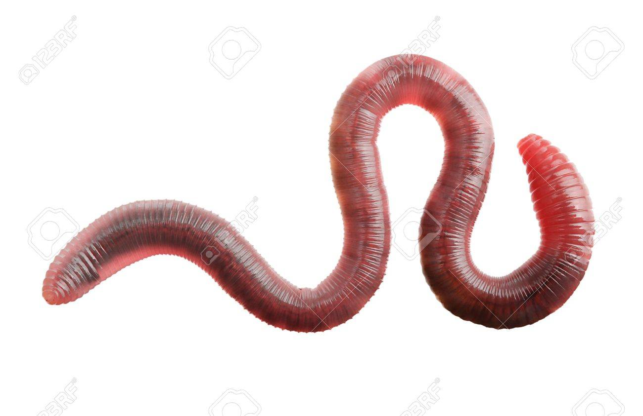 earth worm isolated on white background stock photo picture and