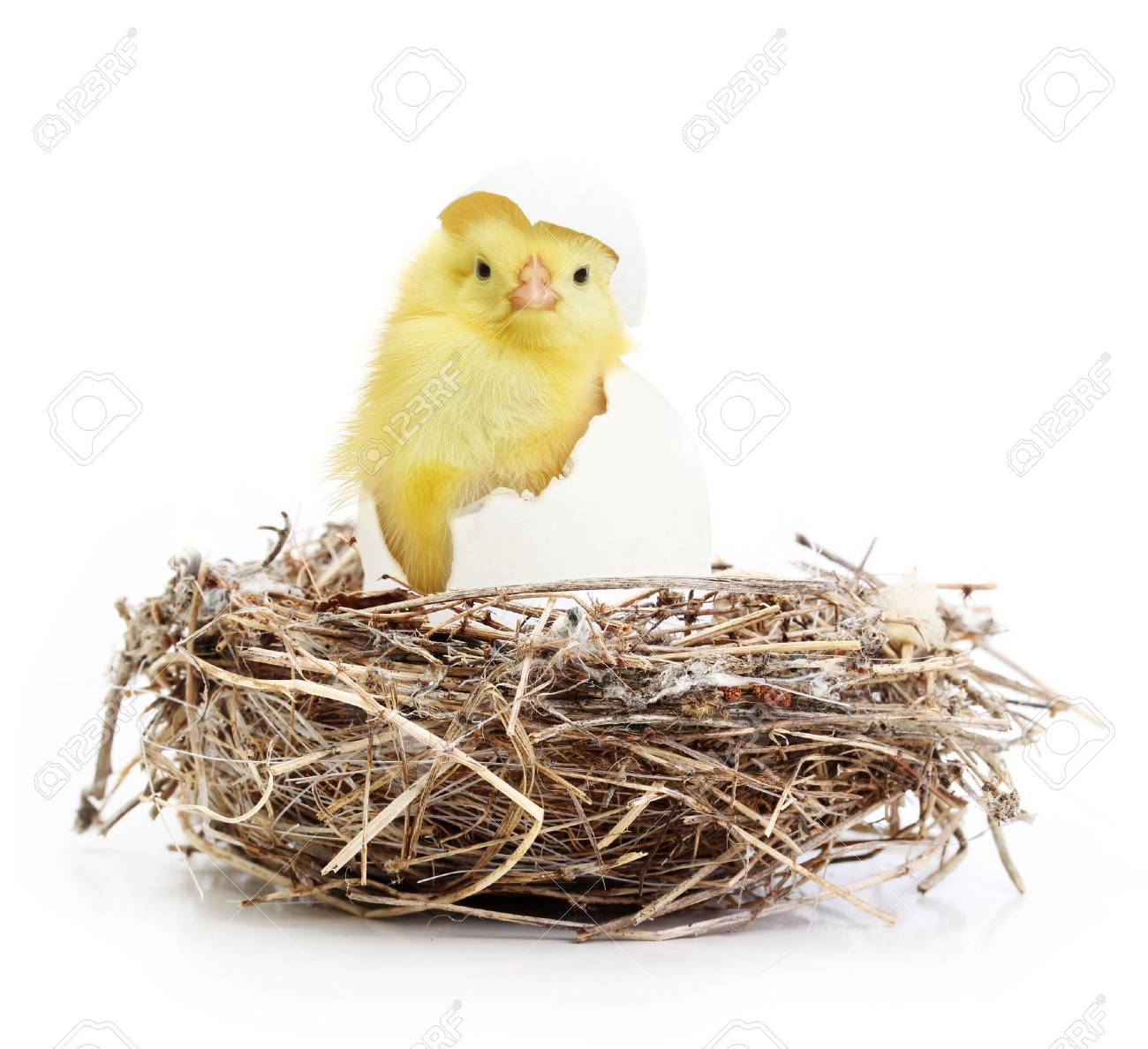 Cute little chicken coming out of a white egg in nest isolated on white background - 32040381