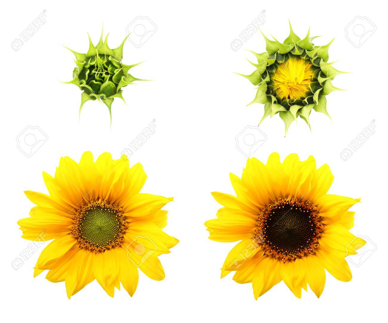 Sunflower Plant Isolated On White Background Stages Of Growth Stock Photo Picture And Royalty Free Image Image 32040389