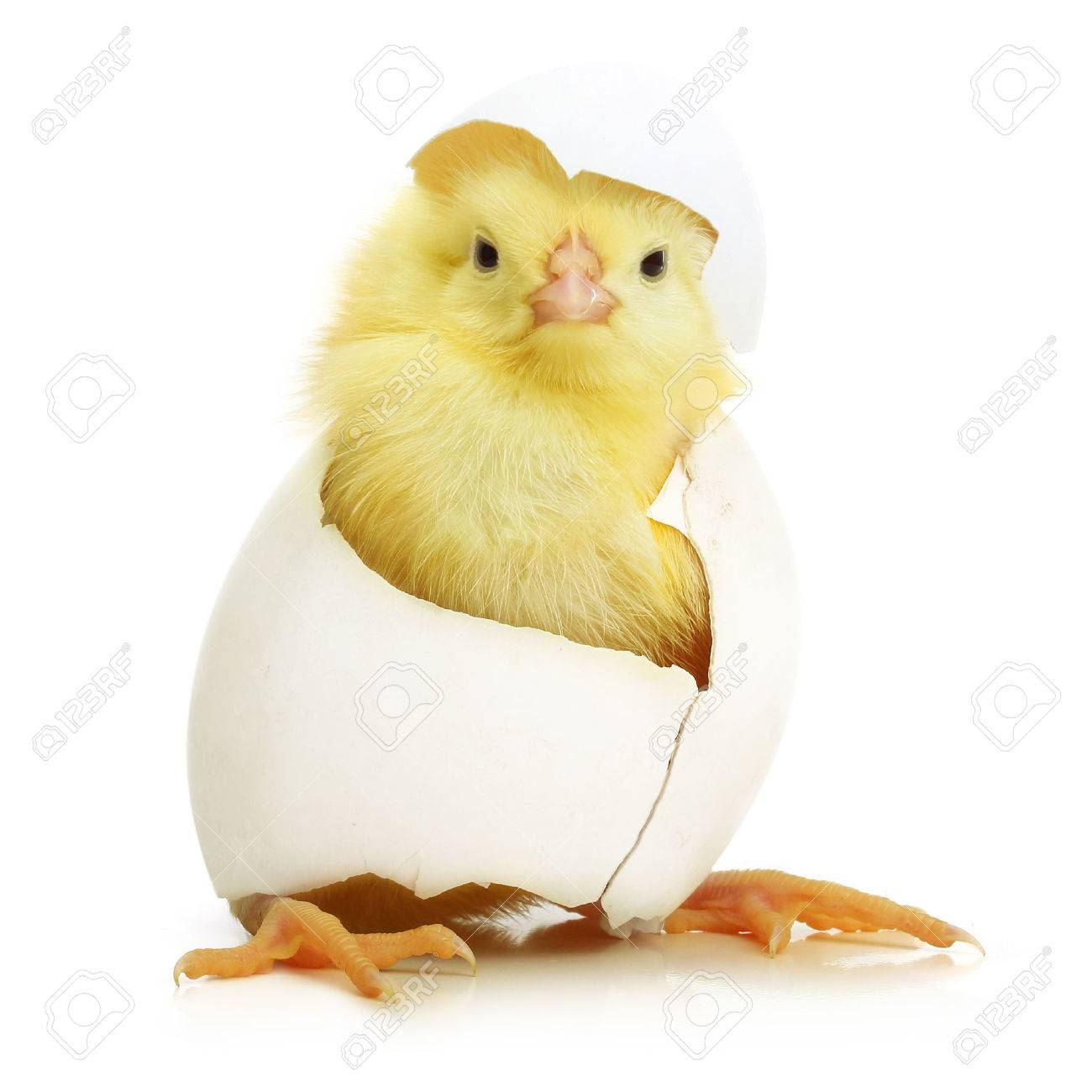 cute little chicken coming out of a white egg isolated on white