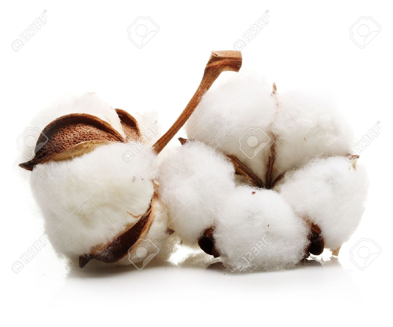 Cotton plant flower isolated on white background - 61544481