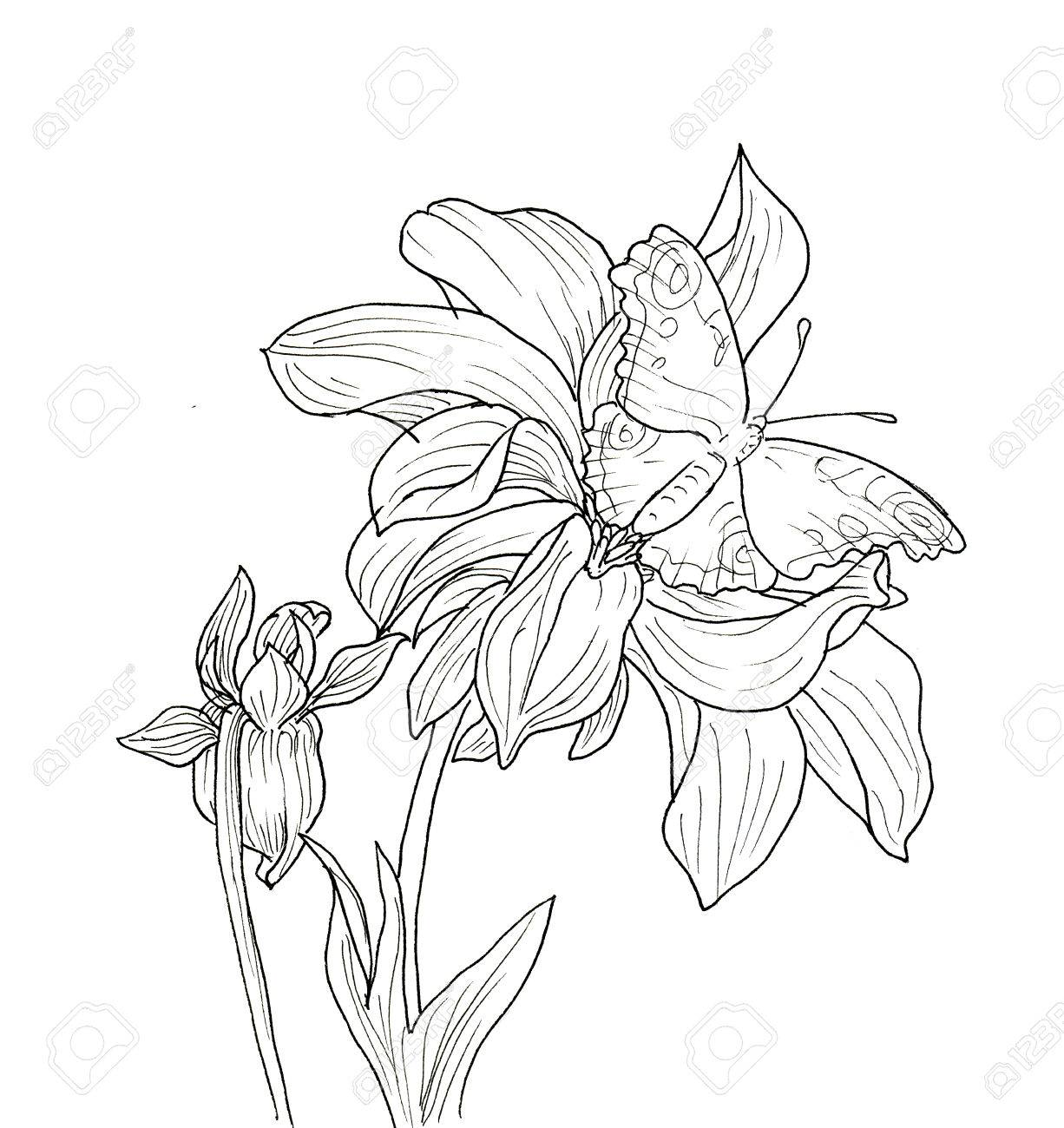 line ink drawing of dahlia flower with butterfly black contour