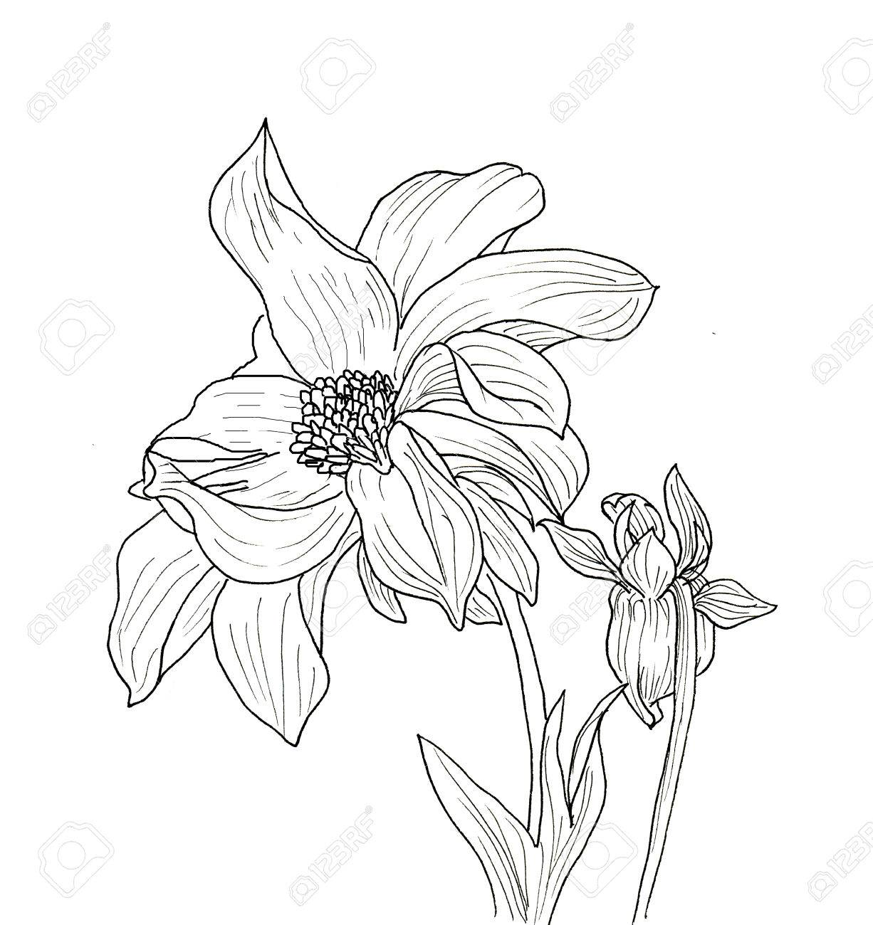 Line Ink Drawing Of Dahlia Flower Black Contour On White Background