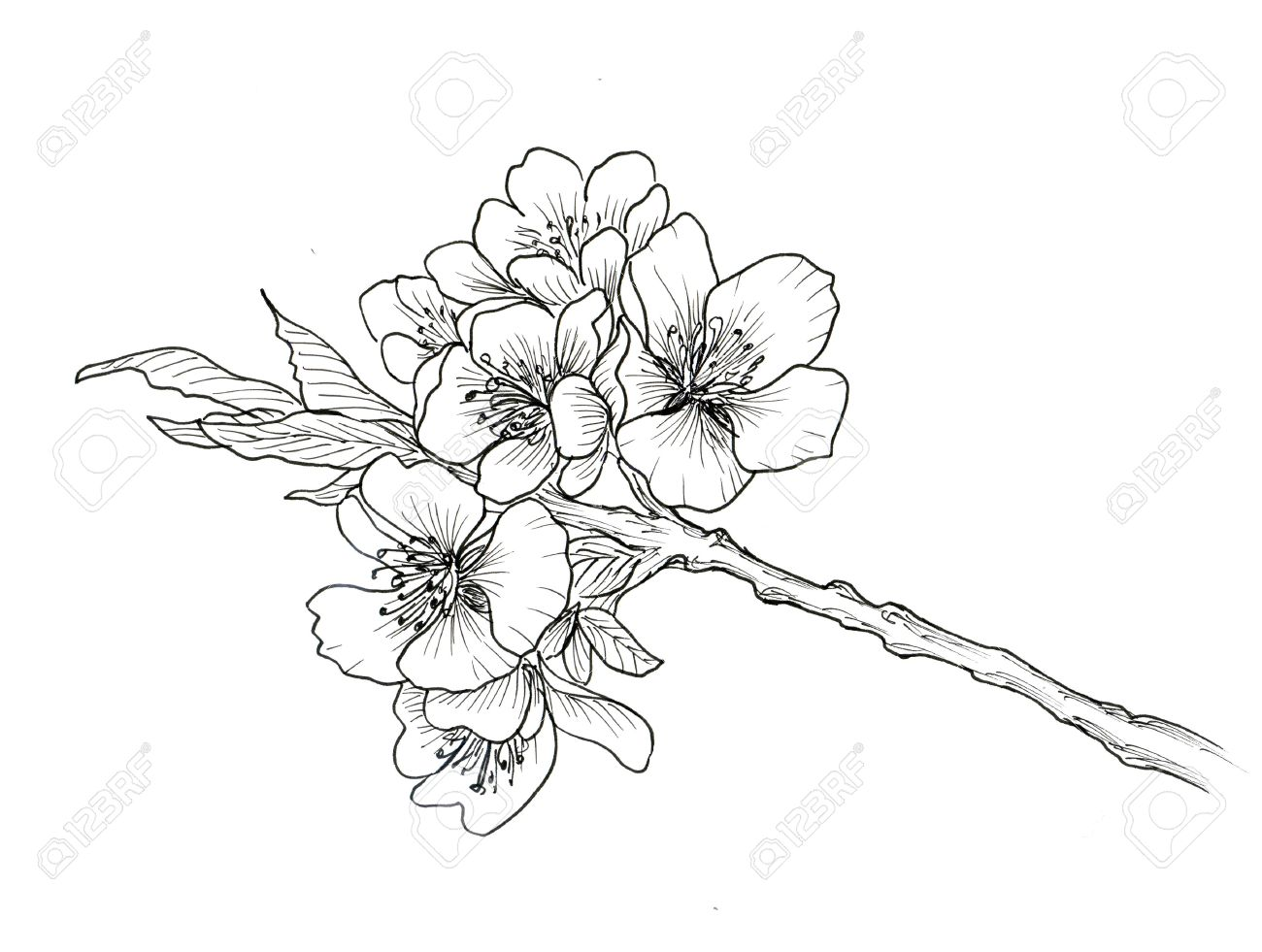 """Ǚ½ã""""背景に分離された桜の手描き下ろし支店 Á®å†™çœŸç´æ ǔ»åƒç´æ Image 54447734"""