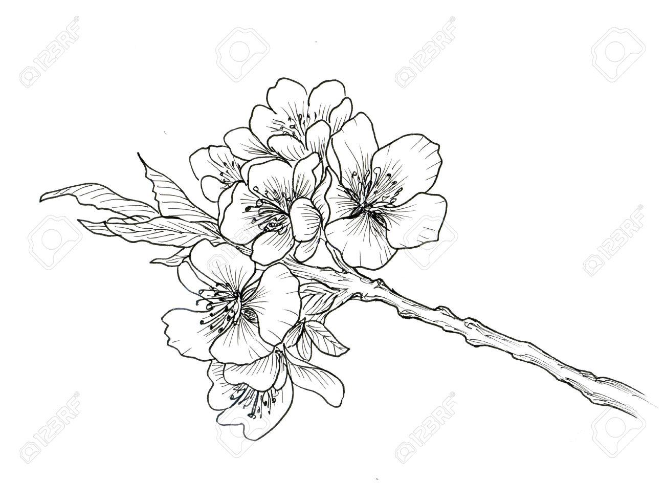 Main Branche Dessinee De Fleur De Cerisier Isole Sur Fond Blanc