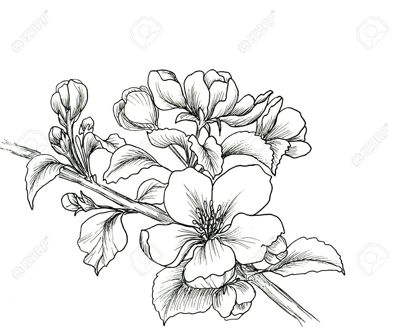Main Branche Dessinée De Fleur De Cerisier Isolé Sur Fond Blanc