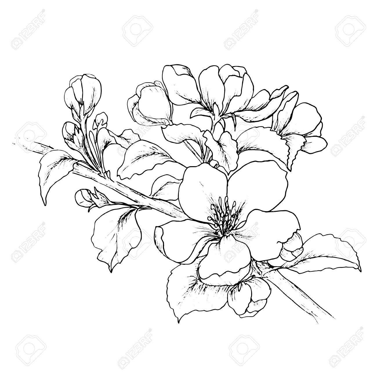 Main Branche Dessin E De Fleur De Cerisier Isol Sur Fond Blanc