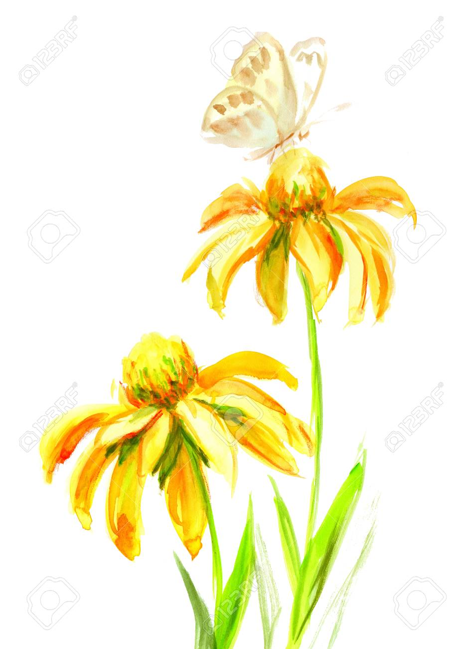 Echinacea Yellow Flower With Butterfly On A White Background