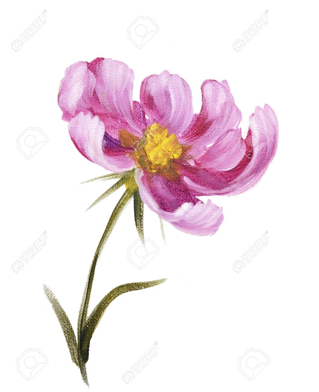 Pink Cosmos Flower Oil Painting On Canvas Isolated On White