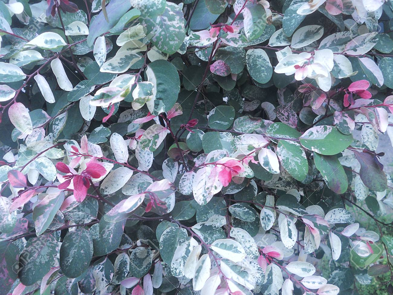 Foliage Background Shrub With Colored Leaves Variegated Three