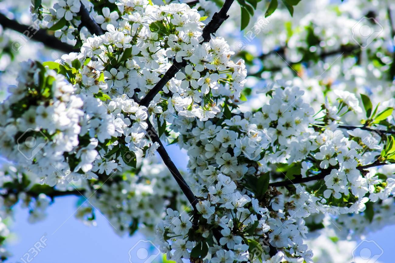 White flowers on branches of cherry blossom tree stock photo stock photo white flowers on branches of cherry blossom tree mightylinksfo