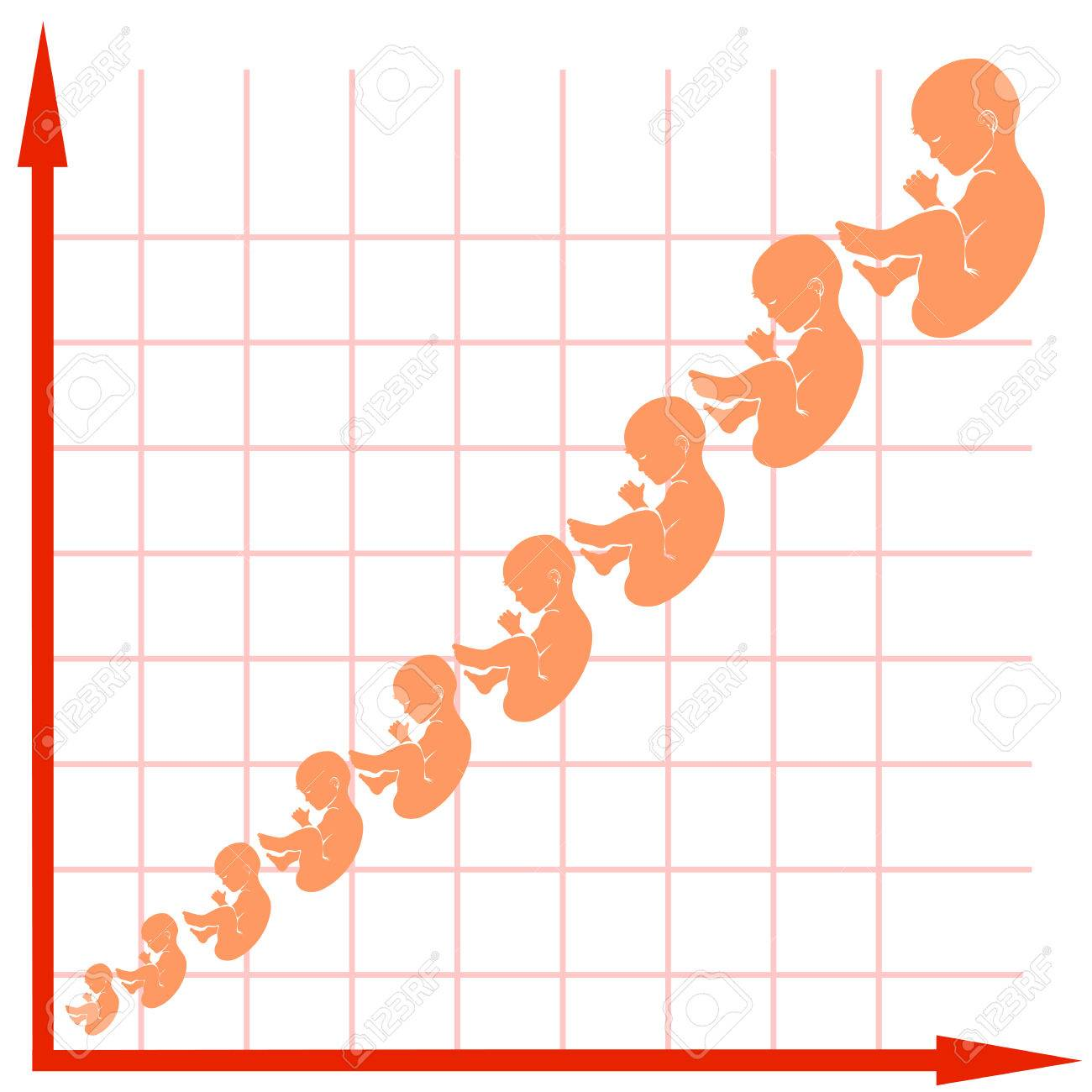 Twin pregnancy growth chart choice image free any chart examples human fetus growth chart isolated on white background royalty free human fetus growth chart isolated on nvjuhfo Image collections