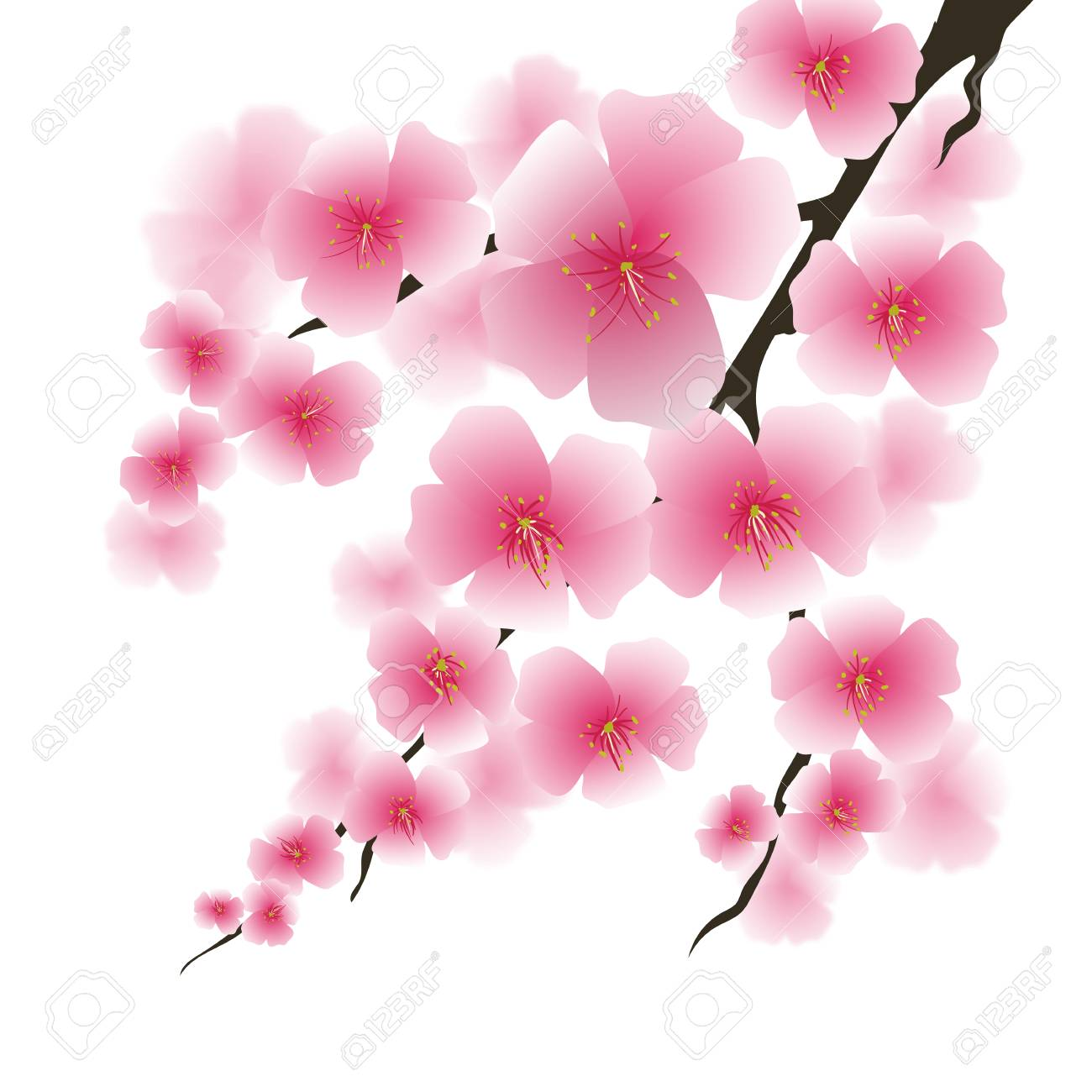 Spring Pink Flowers Isolated On White Background Sakura Japan