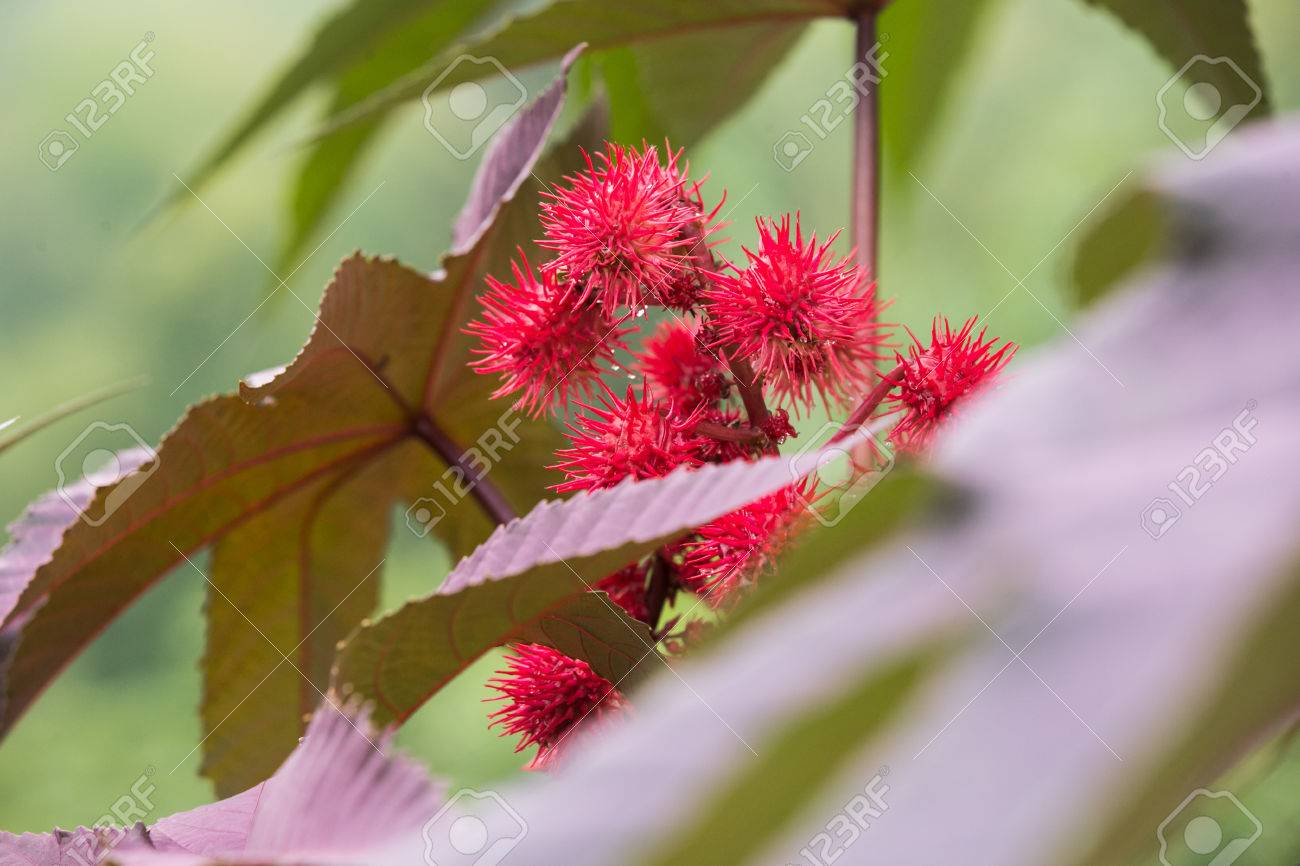 Spiny, Hot Red And Fuchsia-colored Flowers Of The Castor Plant ...