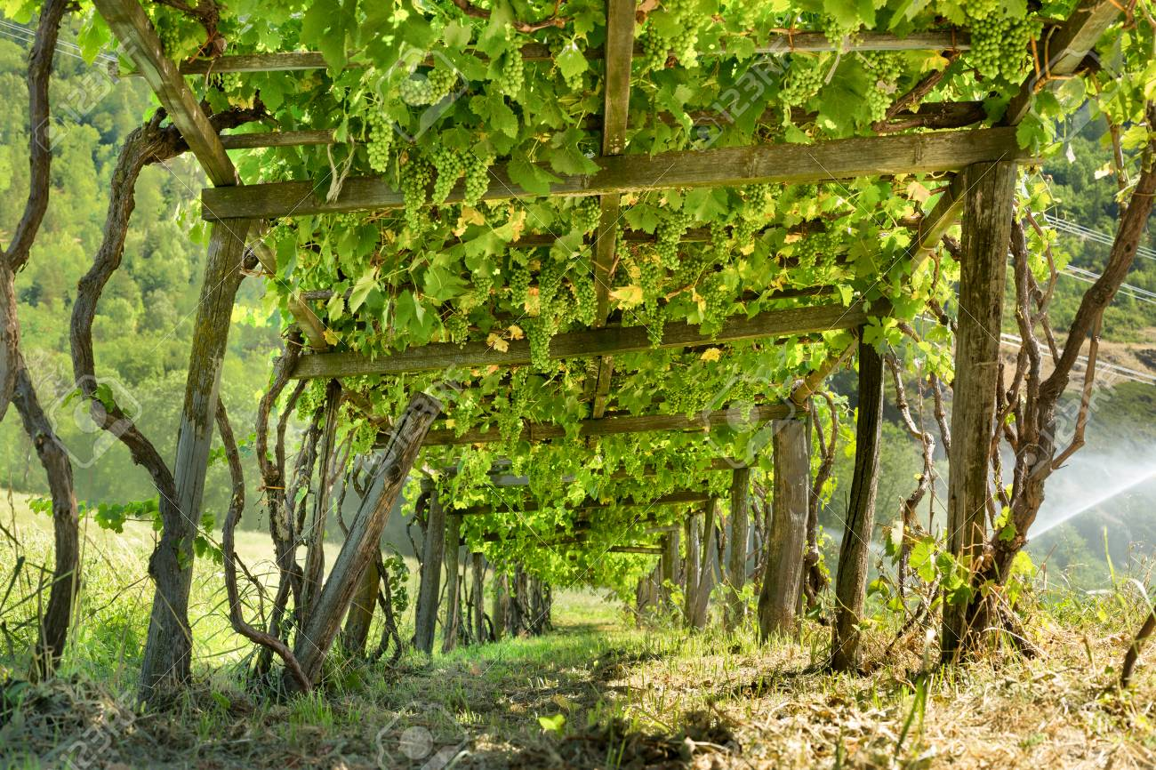 Wooden Grape Arbor Supporting Vines Heavy With Green Grapes