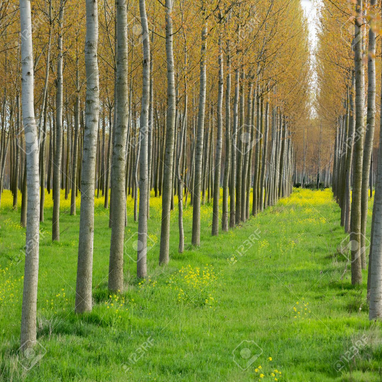Yellow Flowers Between The Poplars In Early Spring Side Perspective