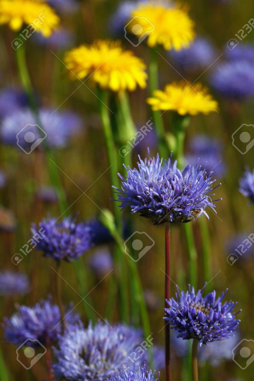 Prato Di Fiori Blu E Gialli - Blue And Yellow Flowers Stock Photo ...
