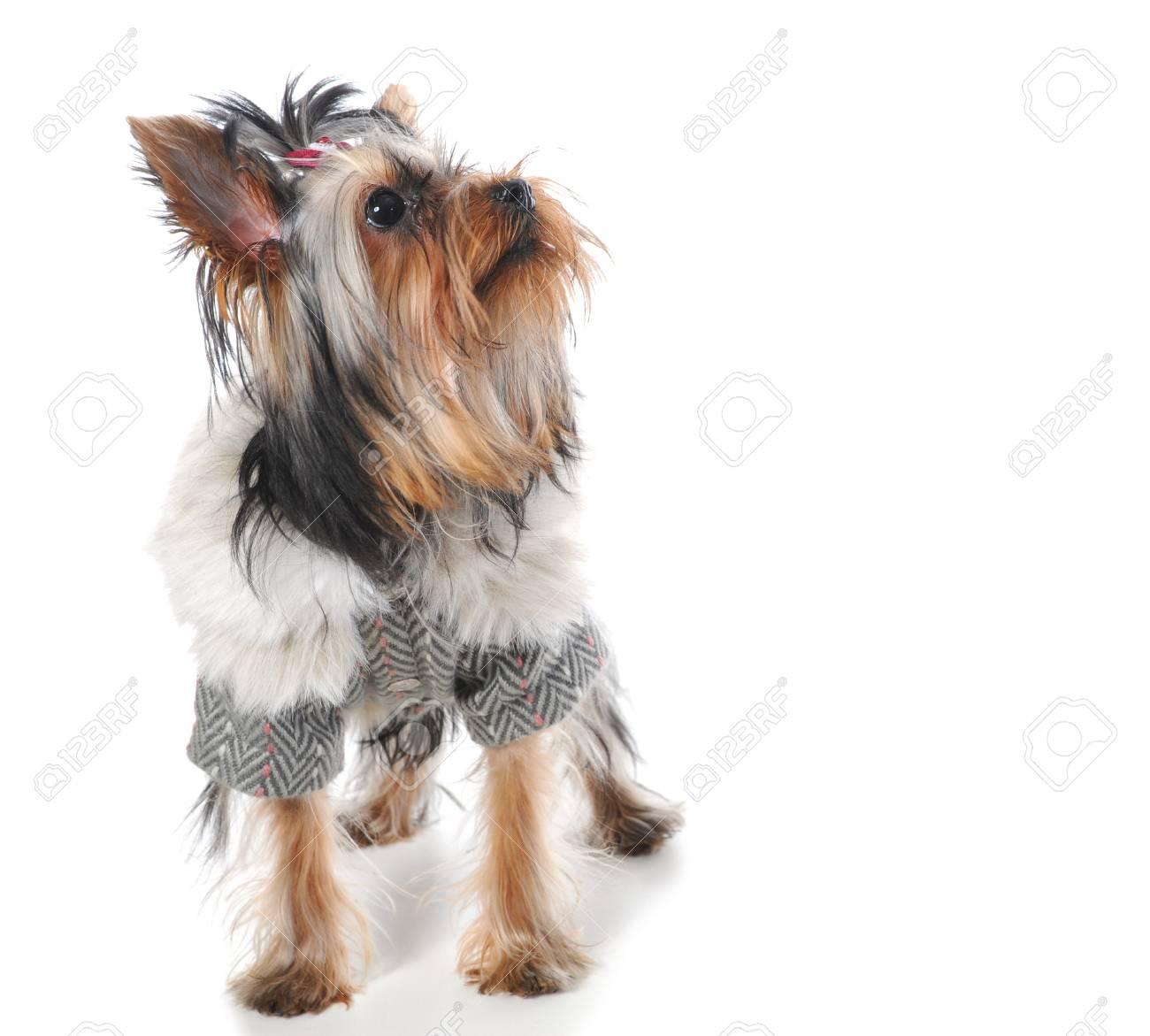 Yorkshire Terrier Stock Photo - 9368909