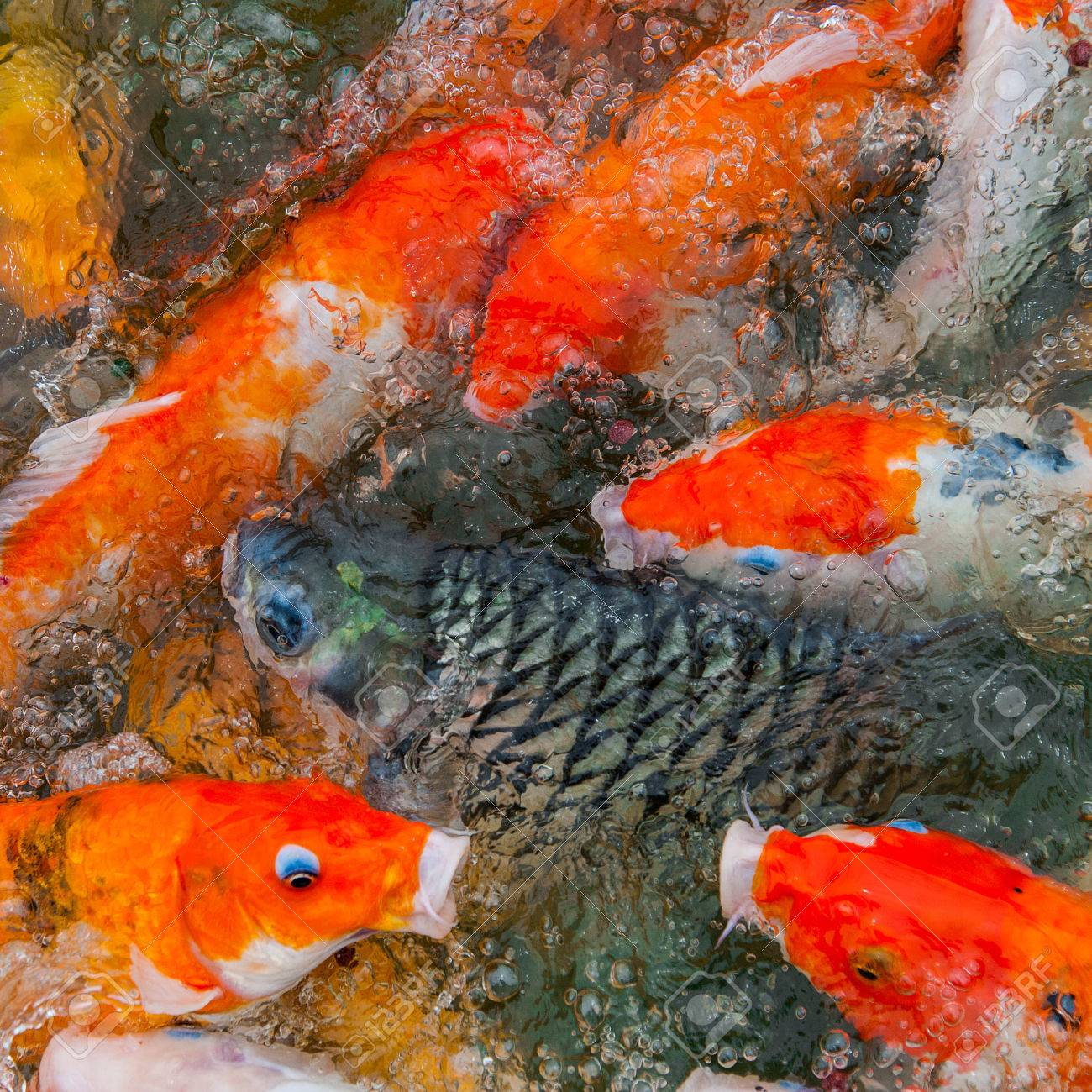 Colorful Koi Or Carp Chinese Fish In Water Stock Photo, Picture And ...