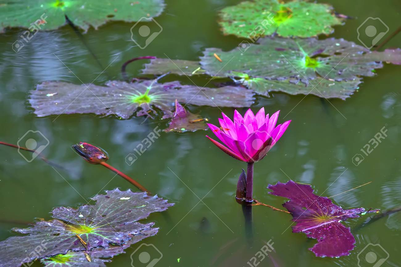 A Full Bloomed Pink Lotus Flower In A Pond Dragonfly On The Stock