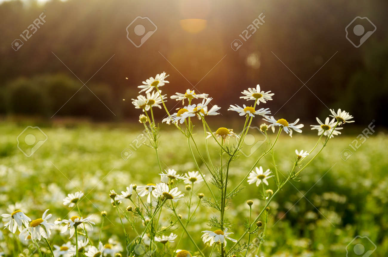 Close up of daisy or wild chamomile blooming flowers on a bright blurred background during sunset. - 159368860