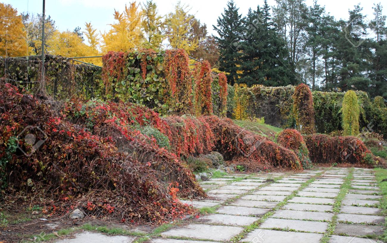 Creepers In Gryshko National Botanical Garden In Autumn, Kiev ...