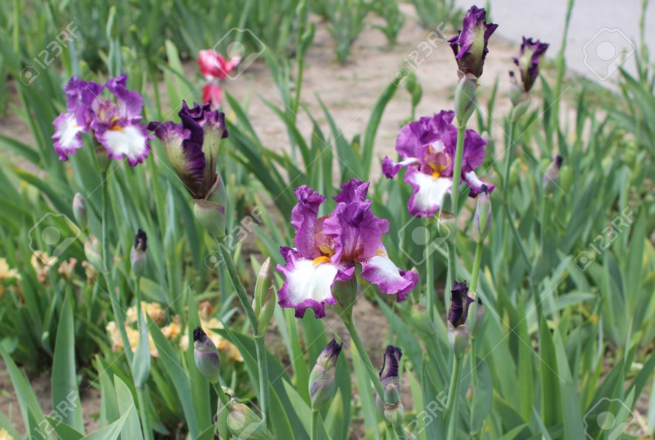 Iris Flower In The Garden Stock Photo Picture And Royalty Free