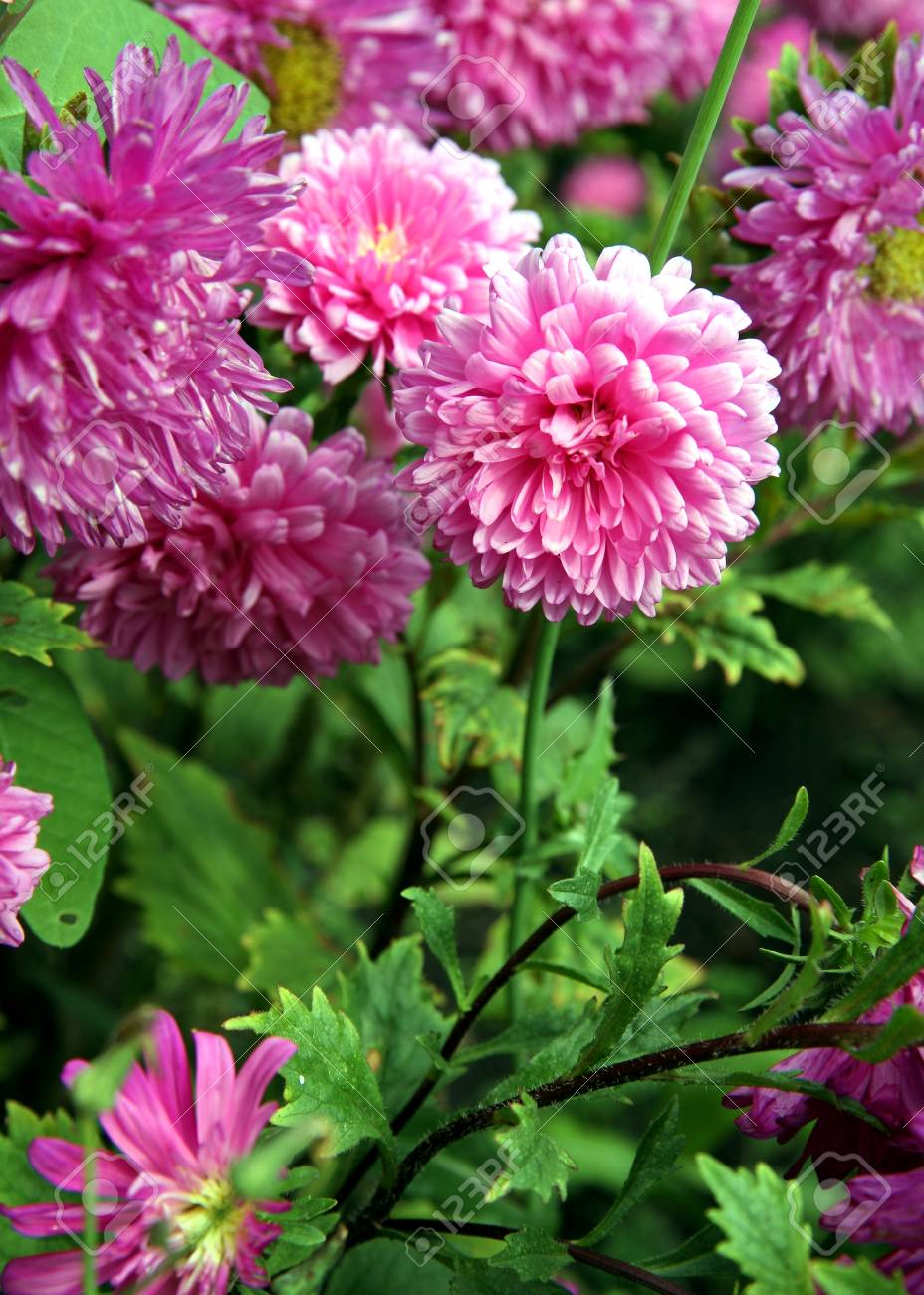 Autumn Flowers Pink Astra On Green Backgrownd Stock Photo Picture