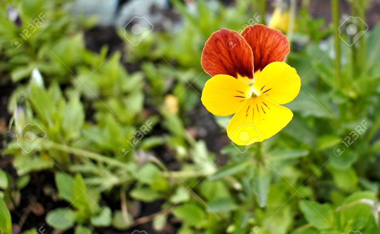Bright Yellow Pansy Flower On Natural Green Background Stock Photo