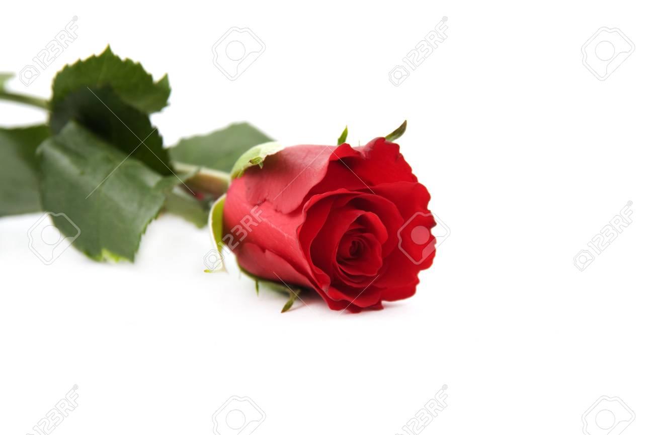 Magnifique Fleur Rouge Isole Sur Fond Blanc Banque D Images Et