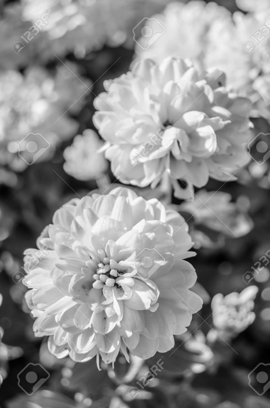 Black And White Chrysanthemum Flowers Stock Photo Picture And