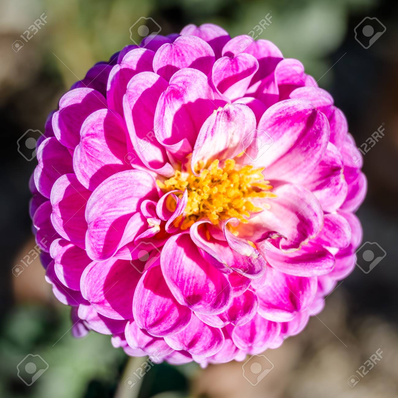 Detail of a colorful dahlia flower natural background stock photo detail of a colorful dahlia flower natural background stock photo 90495207 izmirmasajfo