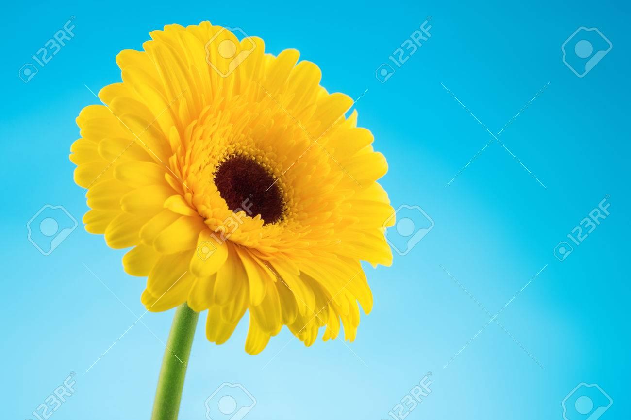 Jaune Gerbera Fleur Isole Sur Fond Bleu Banque D Images Et Photos