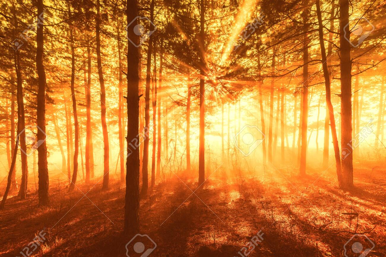 Sun beams pour through trees in foggy forest. - 140779700