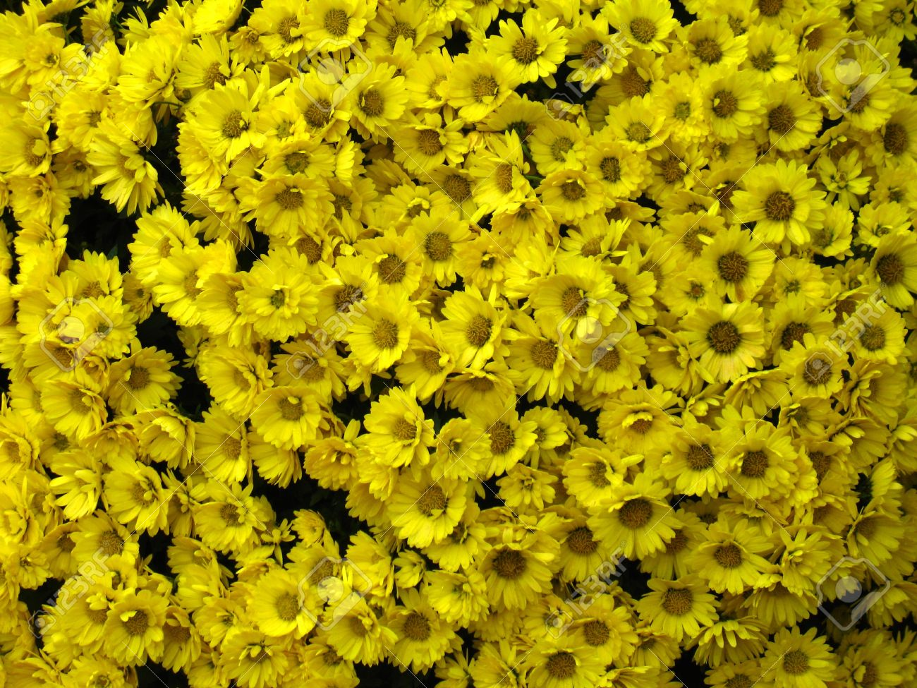 Big Bunch Of Small Yellow Flowers Stock Photo Picture And Royalty