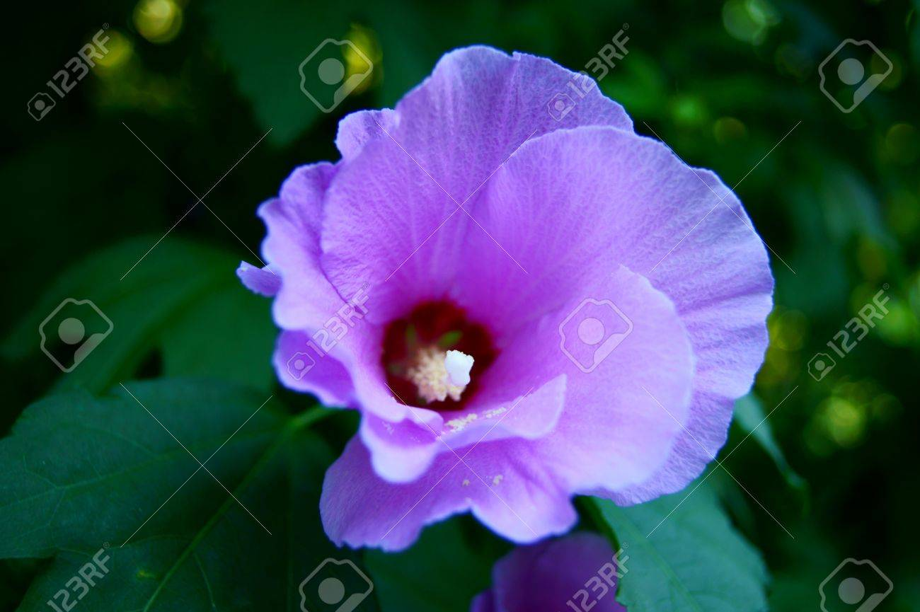 Purple Hibiscus Flower Tree On A Green Background Stock Photo