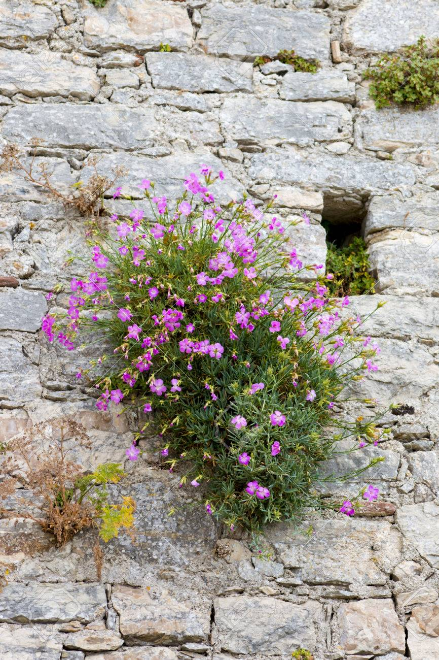 Medieval walls and flowering shrub with small pink flowers stock medieval walls and flowering shrub with small pink flowers stock photo 33671607 dhlflorist Gallery