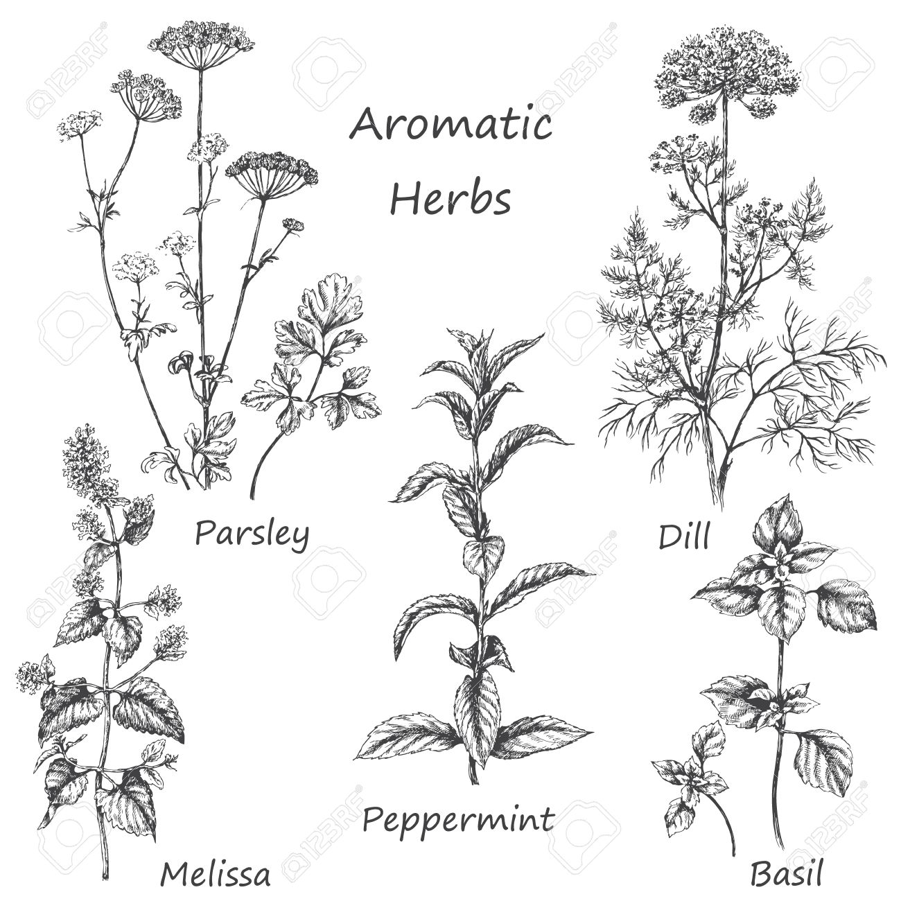 Hand drawn floral elements. Aromatic herbs set. Sketch of medicinal fragrant plants and spices. Monochrome image of dill, mint, parsley, basil, melissa, peppermint. - 60230829