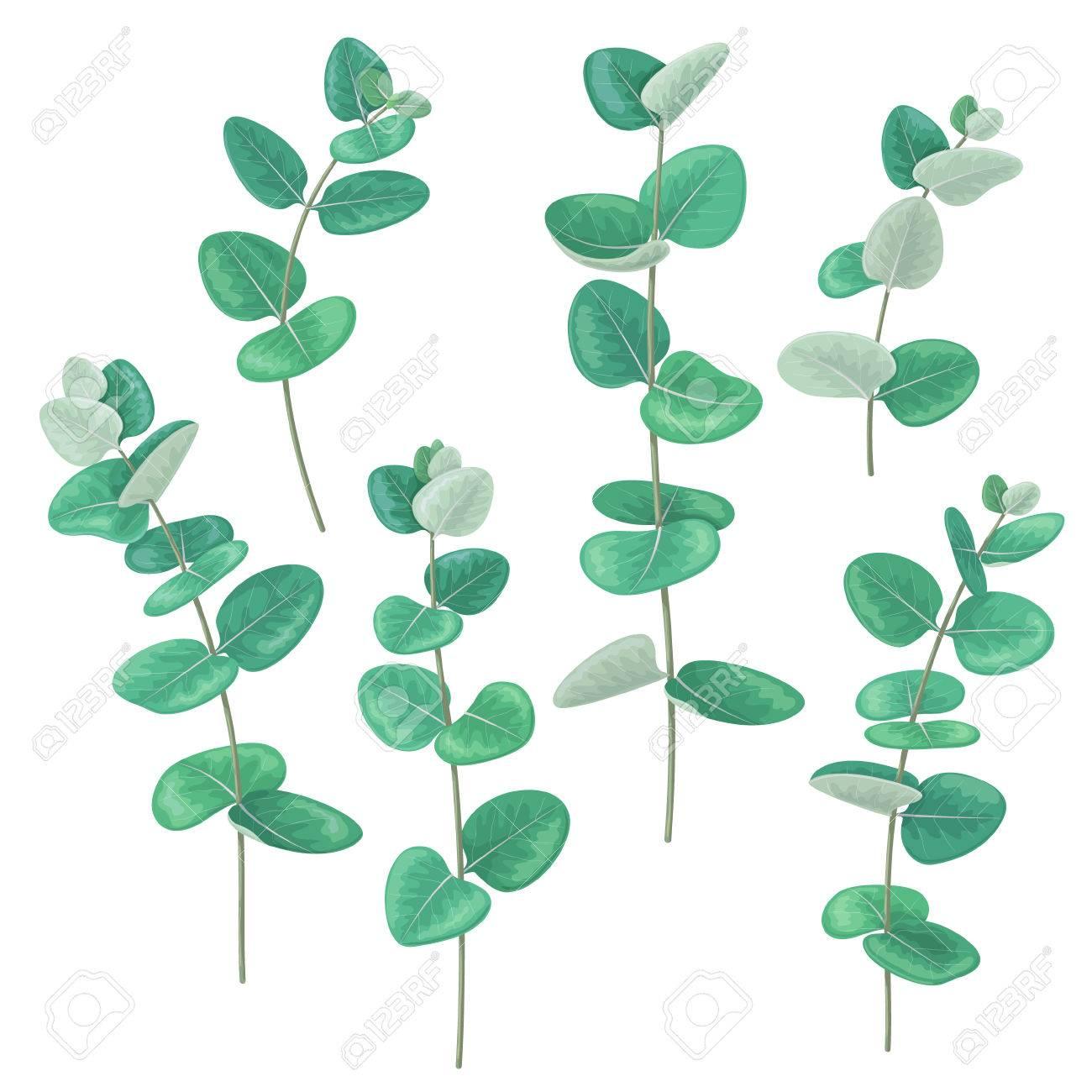 ensemble de vert branches d'eucalyptus à feuilles rondes isolé sur
