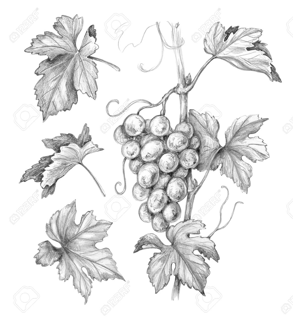 Grape Vine Leaves Drawing