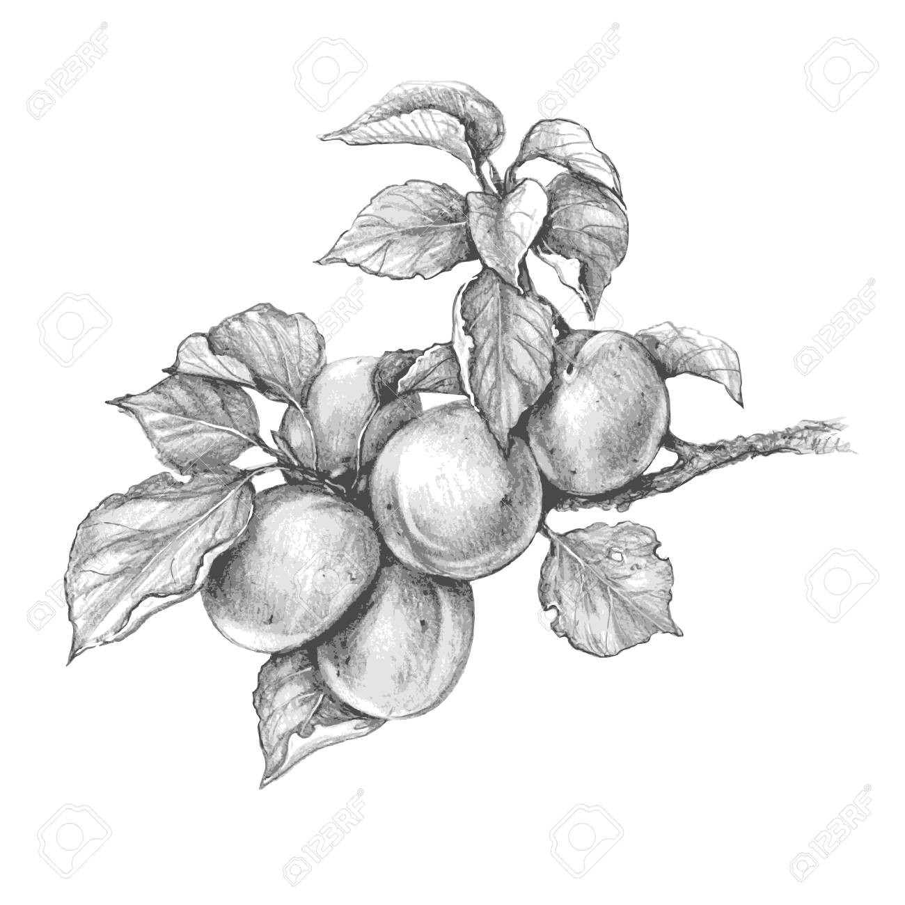 Hand drawn apricot branch isolated on white background monochrome