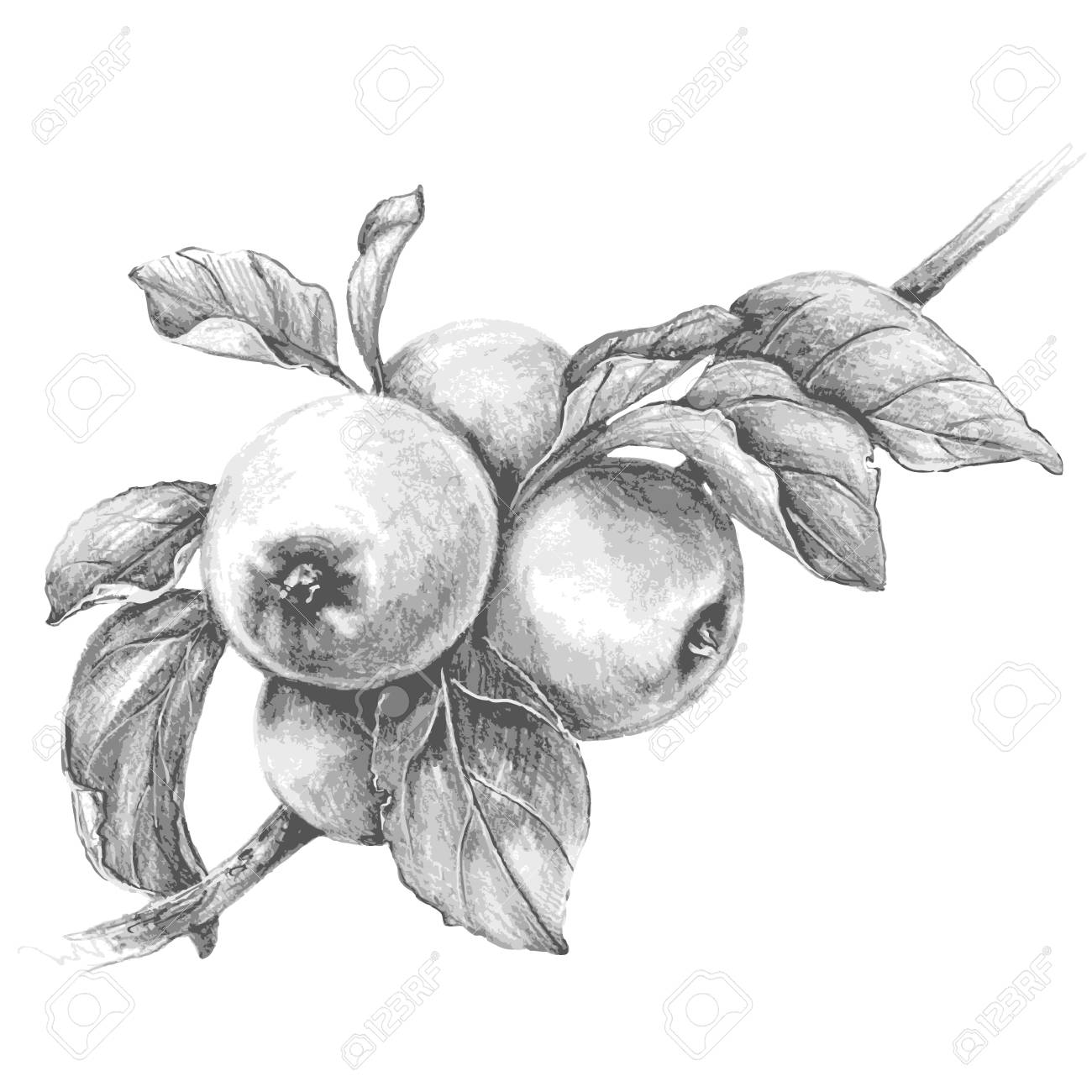 Hand drawn apple branch isolated on white background monochrome