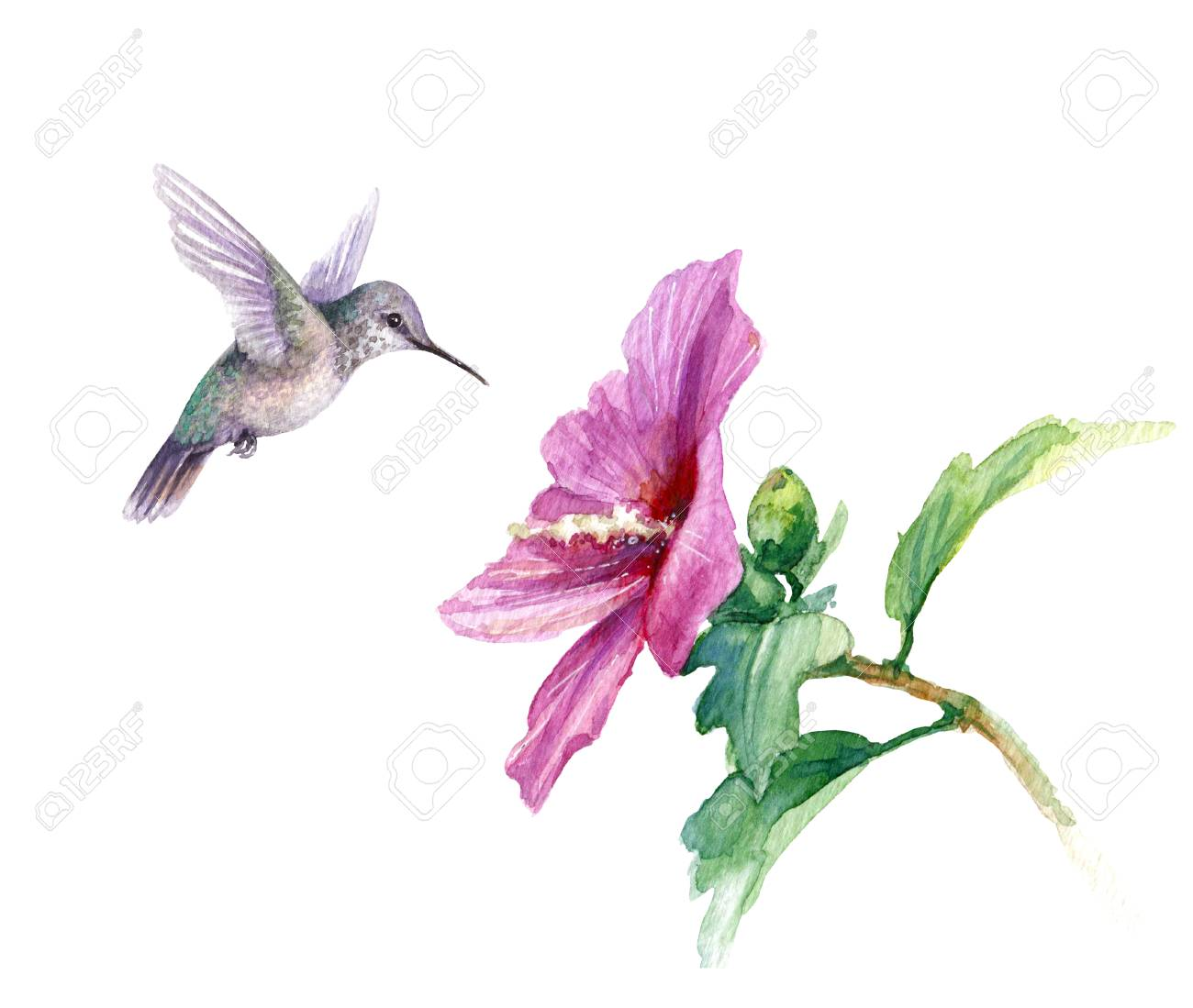 Watercolor Painting. Hand Drawn Humming Bird And Pink Flower.. Stock Photo,  Picture And Royalty Free Image. Image 115664798.